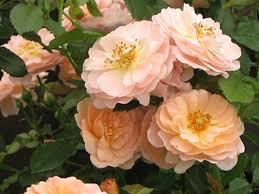 "Rose ""Drift Apricot"" 2 gal."