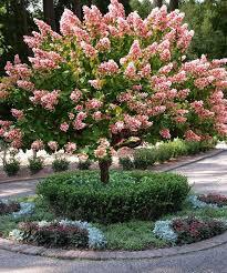 Hydrangea Panicle Quick Fire Tree