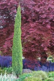 Red Cedar Blue Arrow 3 gal.