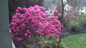 Rhododendron x `Landmark` 3 gal.