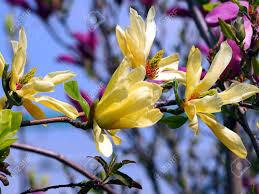 Magnolia 'Butterflies' 7 gal.
