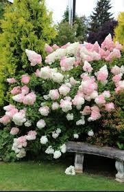 Hydrangea Pan. 'Strawberry Sundae' 5 gal.