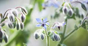 Borage Blue Flowering Organic 1 Pint