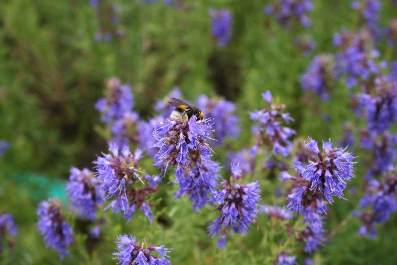 Hyssop Blue Flowering Organic 1 Pint