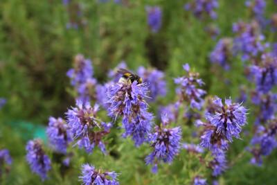 Hyssop Blue Flowering Organic 1 Pint