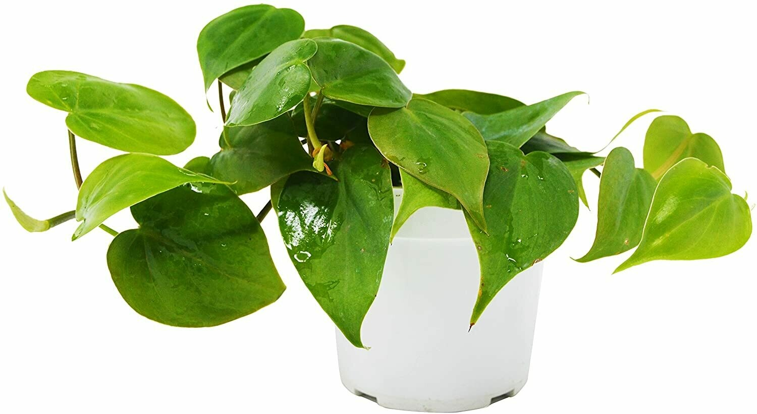 Philodendron 6""