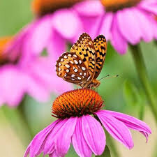Echinacea 'Prairie Splendor' 2 gal.