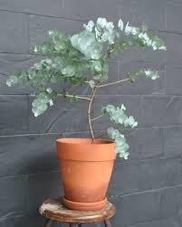 Eucalyptus 4.5