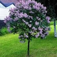 Syringa Bloomerang 'Dark Purple' 10 gal.