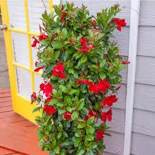 Mandevilla 'Pretty Red Sun' Teepee 10