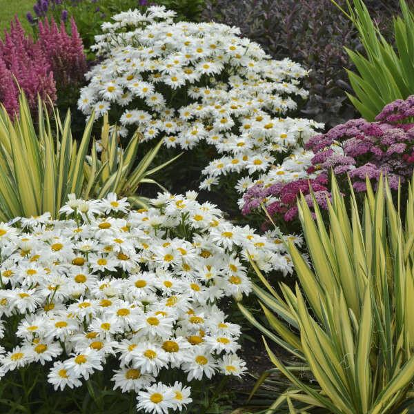 "Leucanthemum 'Whoops a-Daisy' 8"""