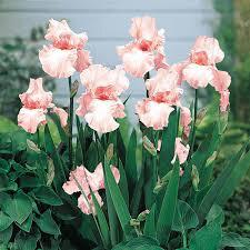 Iris 'Pink Attraction' 1 gal.