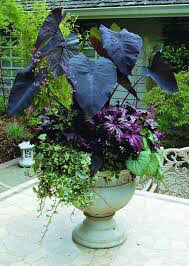 Brunner Macrophylla 'Jack Frost' 1 gal.