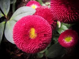Bellis Perennis Belissima English Daily 'Red' 1 gal.