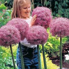 Allium Christophii 1 gal.