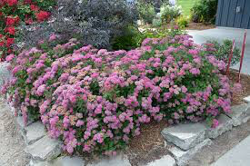 Spirea Double Play 'Pink' 3 gal.