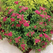 Spirea Double Play 'Red' 3 gal.