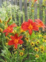 Hemerocallis 'Desert Flame' Reblooming Daylily 8