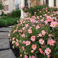 """Rose Knock Out """"Peachy"""" 2 gal."""