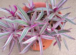 """Rhoeo Spathacea - Oyster Plant 4"""""""