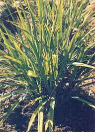 Lemon Grass 4.5