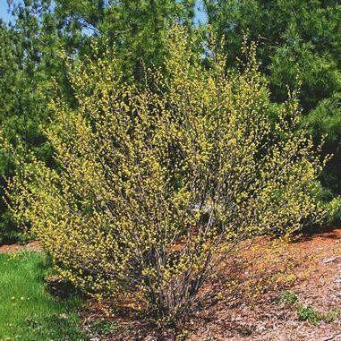 Lindera Benzoin (Spicebush) 1 gal.