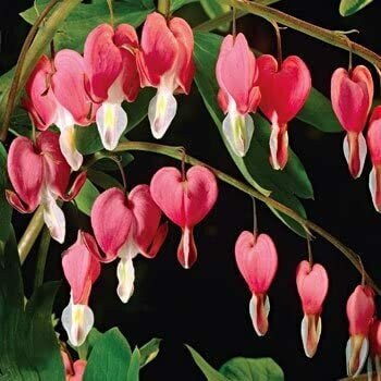 Dicentra, Bleeding Heart Old Fashioned 2 gal.