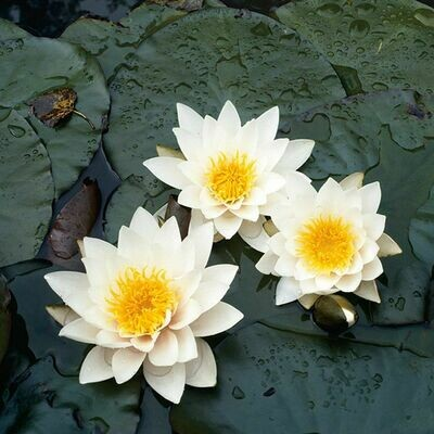 Water Lily Alaskan - Nymphaea 8