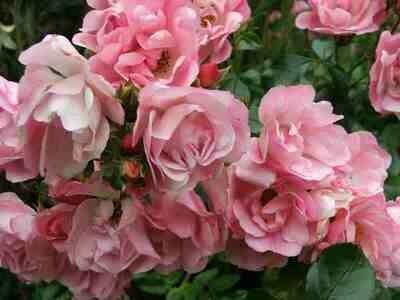 Rose 'Red Flower Apple Blossom' 8