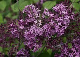 Syringa Lilac Bloomerang 'Dark Purple' 3 gal.