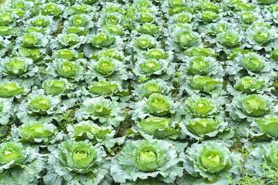 Cabbage Organic 6-pack