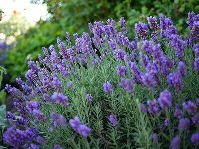 Lavender Phenomenal Organic