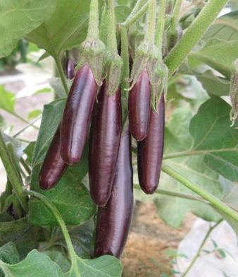 Eggplant - Little Fingers 4.5