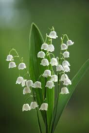 Lily of the Valley 1 pt.