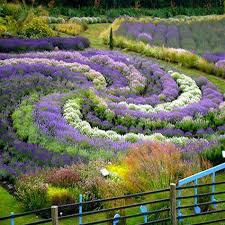 Lavender Organic 1 pint