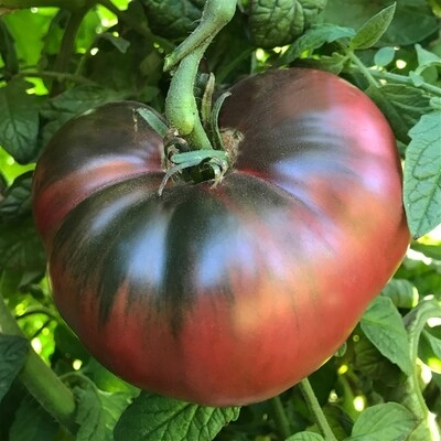 Tomato Cherokee Purple