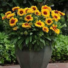 Gaillardia x Mesa 'Bright Bicolor' 1 gal