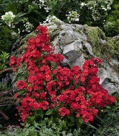 Phlox Volcano Red Garden 1 gal.