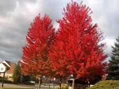Quercus Ellipsodalis 'Majestic Skies'  Pin Oak 15 gal. 10'h