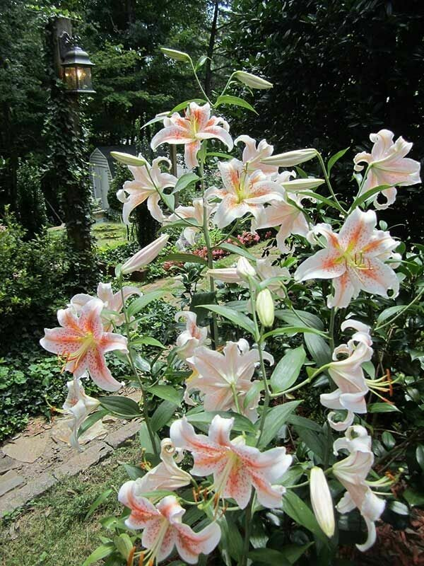 Lilium Ornamental Salmon Star