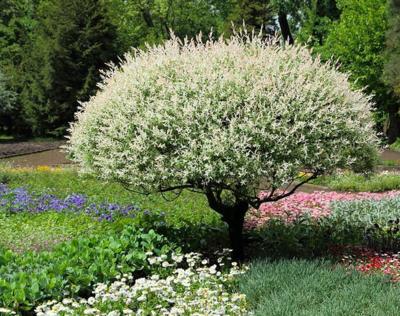 Salix 'Hakuro Nishiki Dappled Willow' 10 gallon