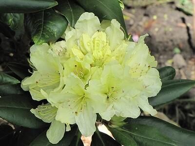 Rhododendron 'Capristrano'
