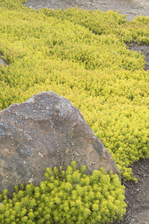Sedum rupestre 'Angelina' - Golden Stonecrop 1 pt