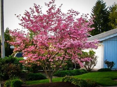 Dogwood Stellar Pink