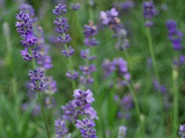 "Lavender ""Munstead Strain"" 1 gal."