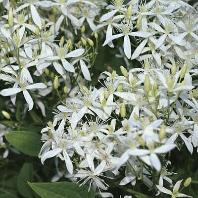 Clematis Paniculata White