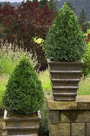 Boxwood 'Green Mountain'