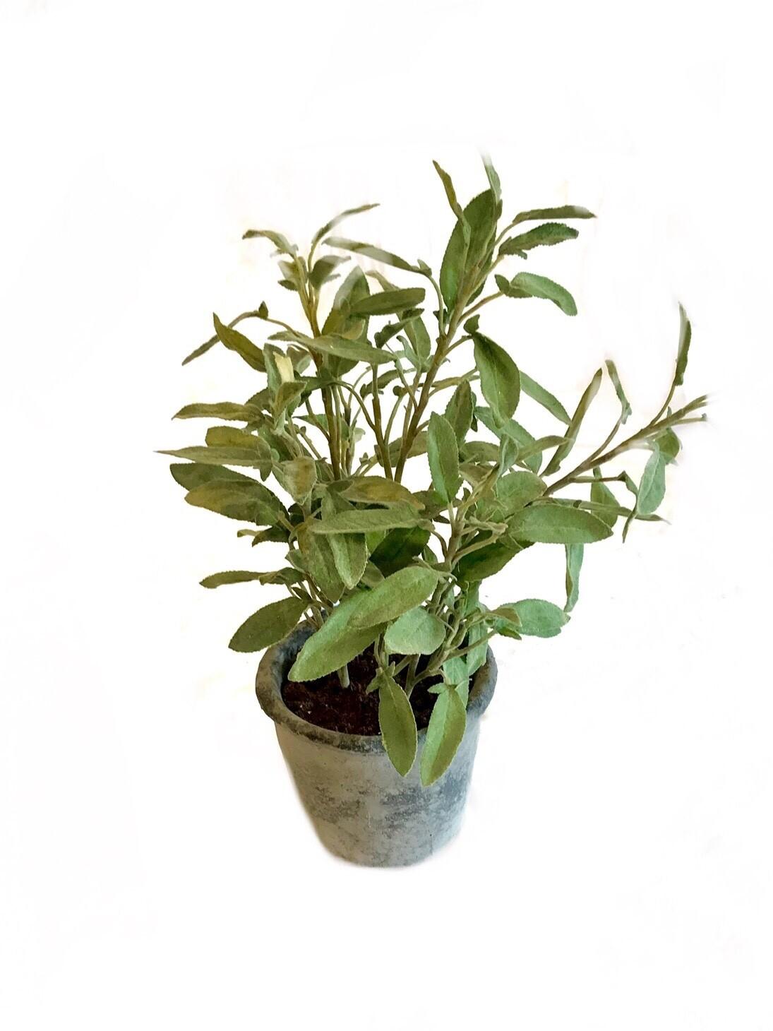 Potted herb large Sage