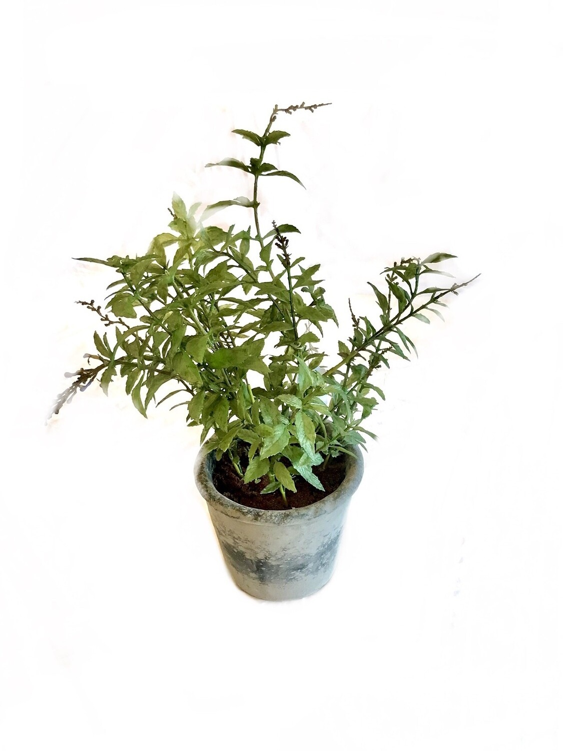 Potted herb large Rosemary