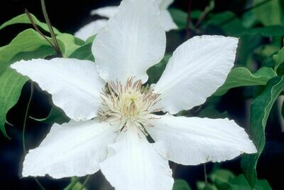 Hyde Hall Clematis (1 Gallon)